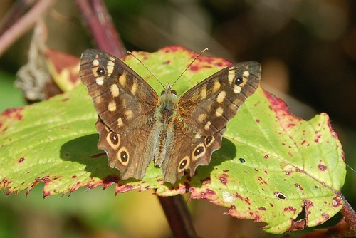 speckledwood24sep2013