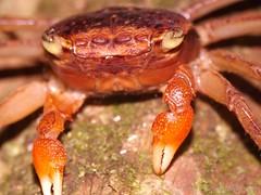 Crab 1a