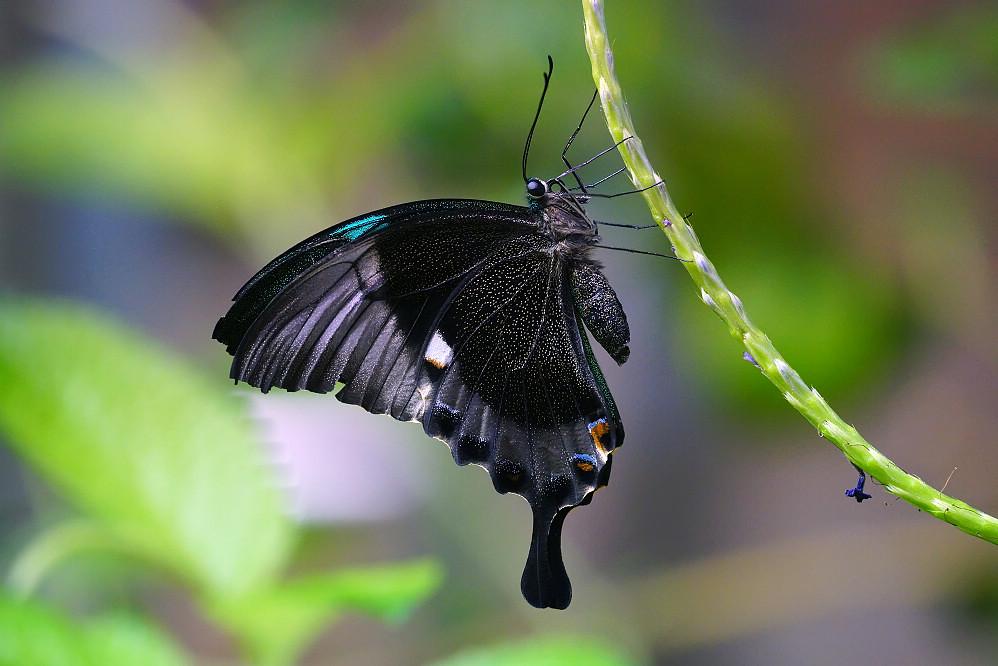 美洲鳳蝶 Papilio palinurus-3