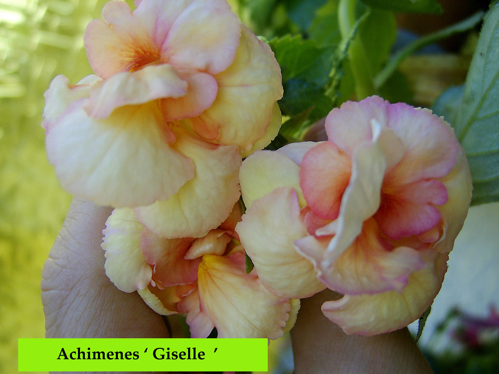 Achimenes Mixed Cultivars Seeds 1000 from Chiltern