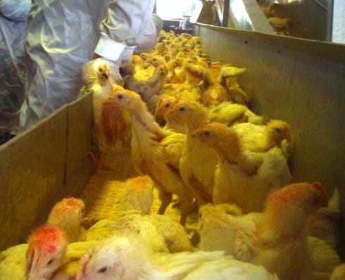 זוגלובק - תרנגולים בצפיפות במסוע בדרכם לשחיטה