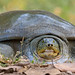 IndianSoftShelledTurtle by dickysingh