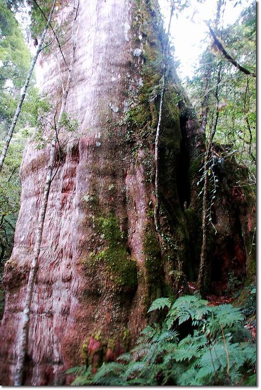 萬大巨木 3
