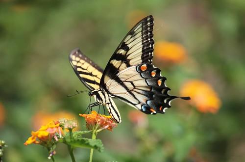 blue orange black yellow butterfly northcarolina lantana swallowtail tigerswallowtail richmondcounty papilioglaucus eyespot richmondcoutny