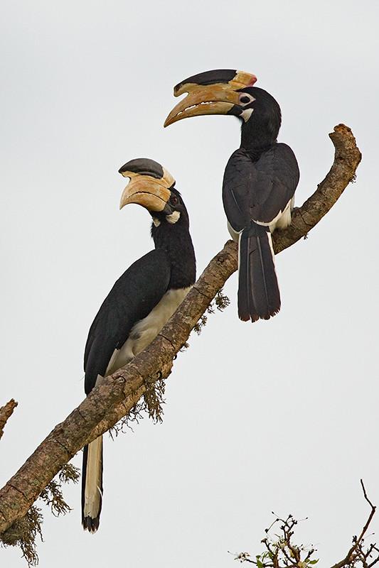Malabar Pied Hornbill  Sri Lanka 2013-11-27