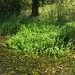 Small photo of Alternanthera philoxeroides habit6c