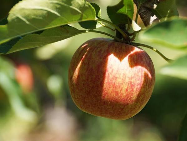 Pine Crest Orchard - Bilpen