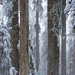 Tall Snowy Trees by p medved