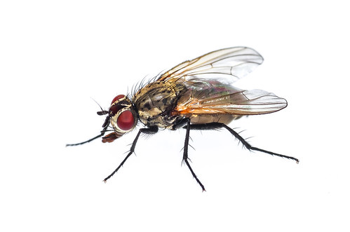Cabbage Root Fly - ♀