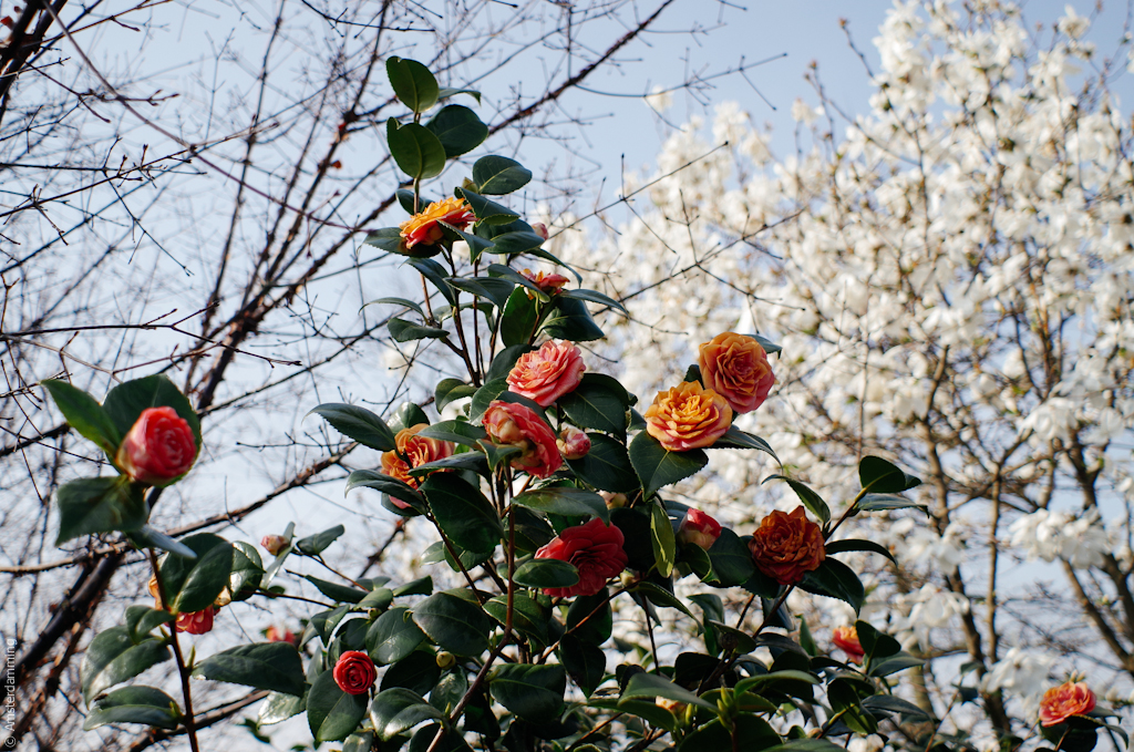 Cherry Blossom in Westerpark, Amsterdam