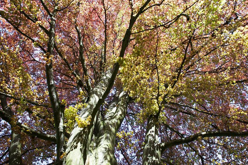 Spring beech. Striyskiy park. Lviv, Ukraine