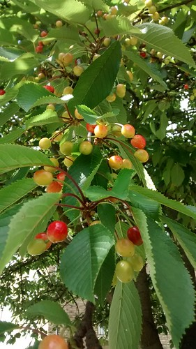 cherry tree June 14