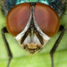 Greenbottle fly head z-stack by Mister Electron