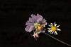 Dried Flower Arrangement: Pansy Chrysanthemum Columbine