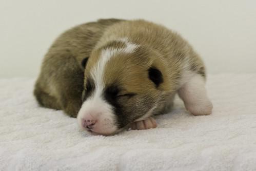 Anya-Litter1-10Days-Puppy1(Male)c