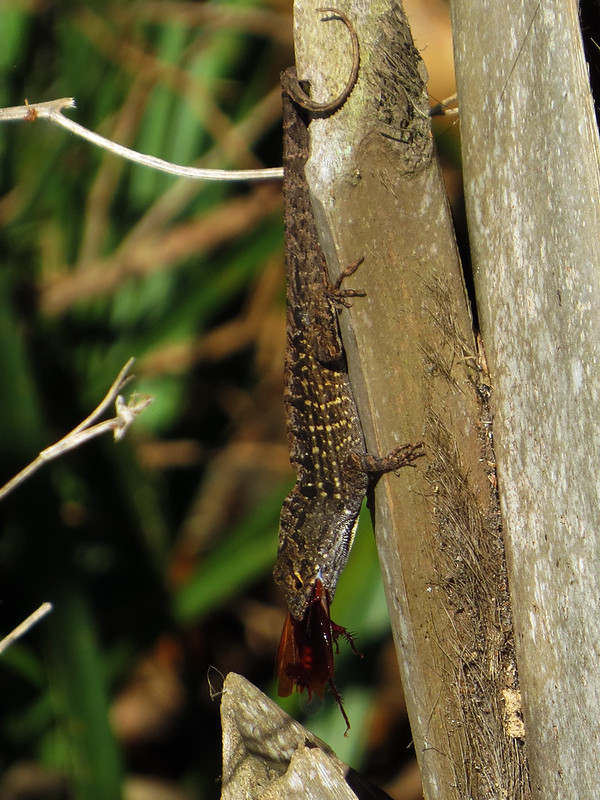Brown Anole with breakfast