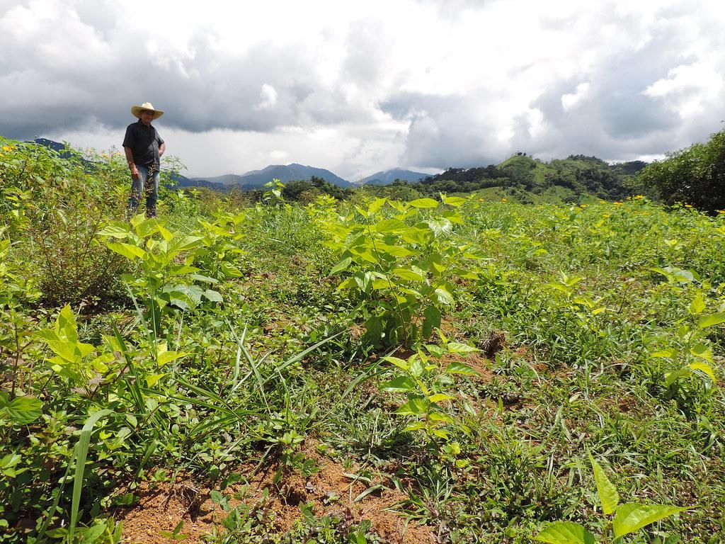 Plantas de morera en banco mixto de forrajes