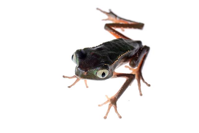 Phyllomedusa
