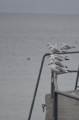 Seagulls at Lake Constance