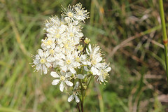 blossom(0.0), shrub(0.0), cow parsley(0.0), produce(0.0), branched asphodel(0.0), flower(1.0), plant(1.0), macro photography(1.0), herb(1.0), wildflower(1.0), flora(1.0), meadowsweet(1.0),