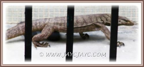 Monitor lizard (Varanus bengalensis) inside a neighbour's backyard, August 10 2013