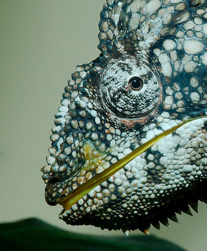 Malagasy giant chameleon (Furcifer oustaleti)_1