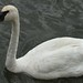 Trumpeter Swan - Photo (c) dnydick, some rights reserved (CC BY-NC)