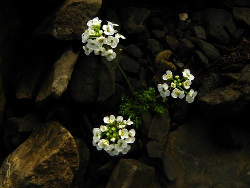 Pritzelago alpina=Cresson des chamois