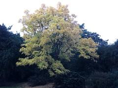 Amur cork tree in the Arboretum