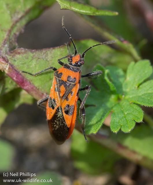 Corizus hyoscyami plant bug-2