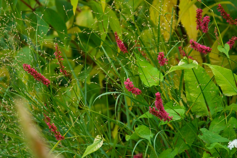 persicaria golden arrow  3644