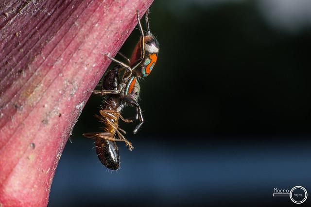 Siler semiglaucus 2- Bootle-Brush Iridescent Jumper