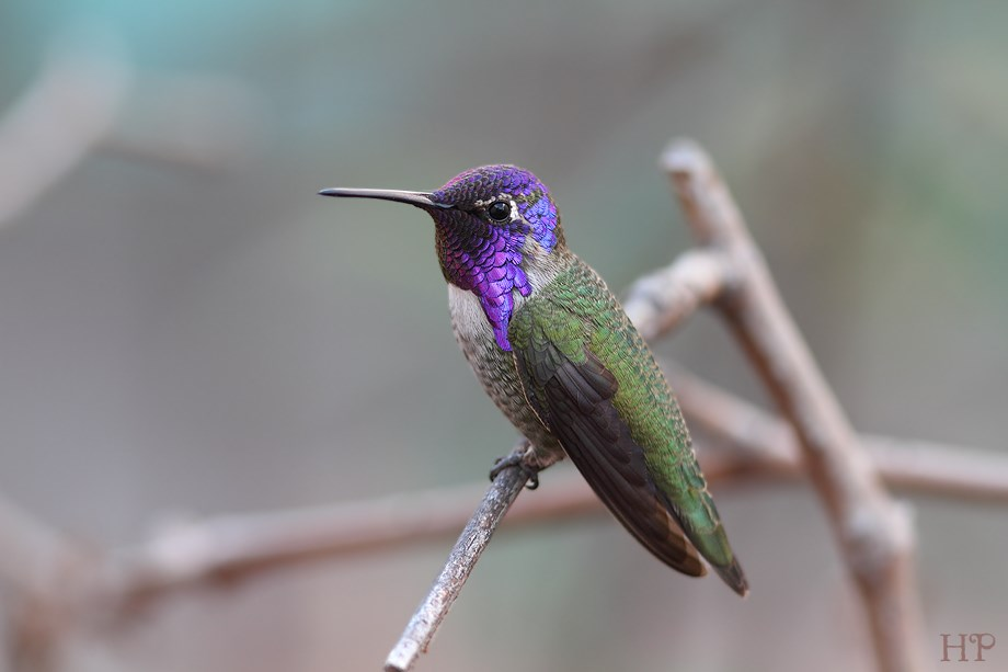 Costa's X Anna's Hummingbird 102813-2