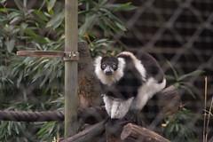 animal, monkey, zoo, mammal, fauna, lemur,