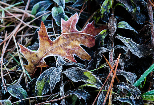 early frosted oak leaf, Pratt farm by Genny164