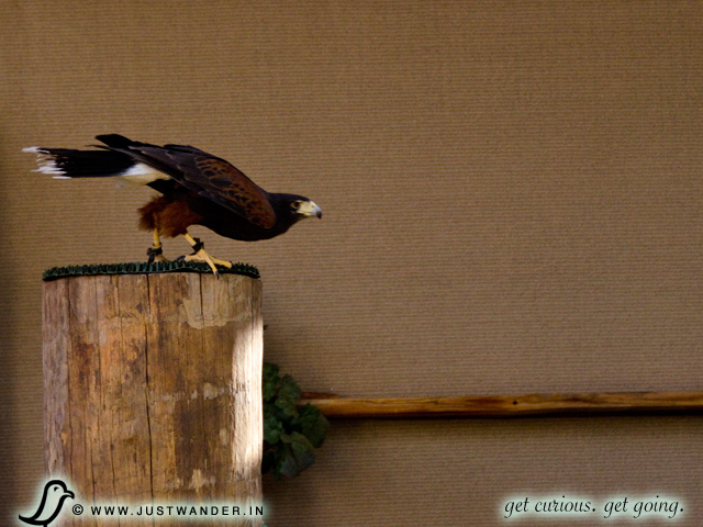 PIC: Bearizona's Harris Hawk