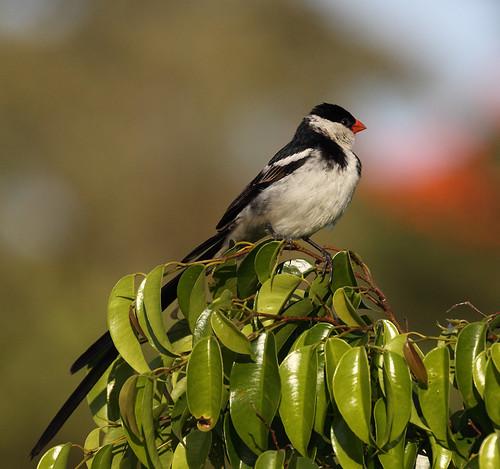 africa birds kenya african kenyan kericho pintailedwhydah africanbirds whydah kerichoteahotel teahotel kenyanbirds