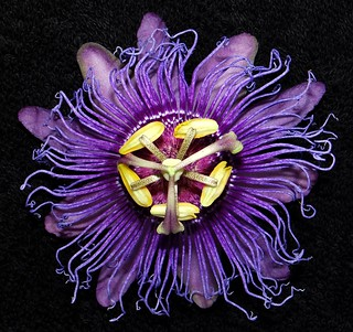 Passionflower  #60: PASSIFLORA INCENSE  #9