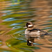 Reflected bufflehead by Photosuze