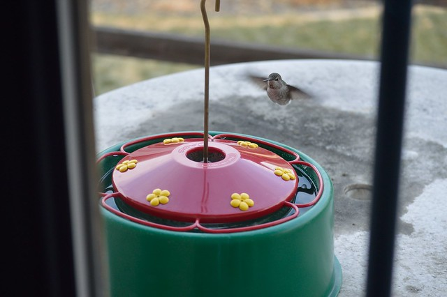 female (adult?) ANHU at feeder. High temp of 18F today!