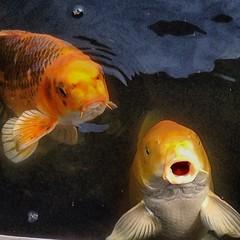 carp, fish, yellow, fish, marine biology, koi, goldfish, fauna,