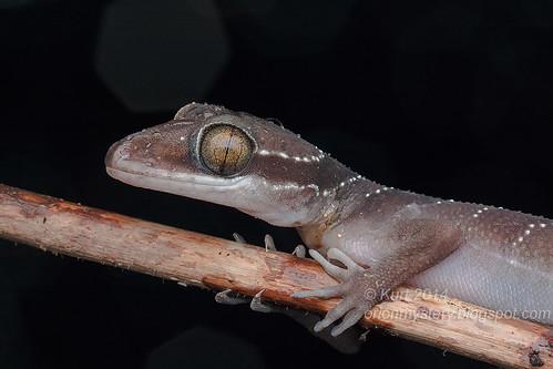 Cyrtodactylus bintangtinggi IMG_5213 copy