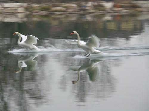 La frenata sull'acqua dei cigni by Ylbert Durishti