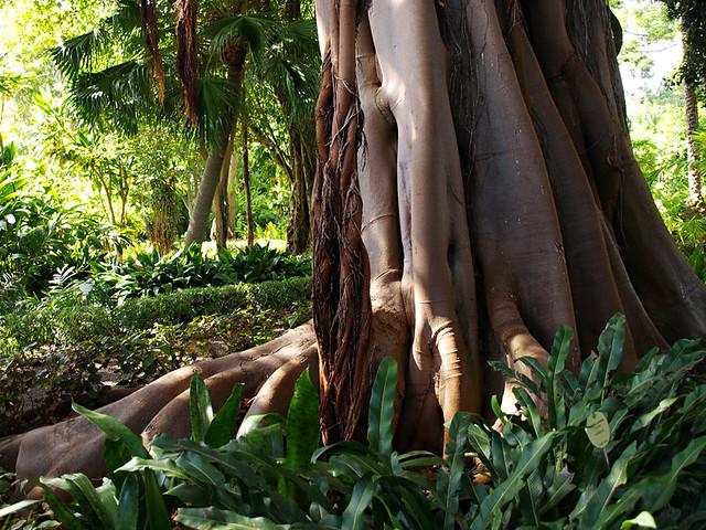 Tree roots, Botanical Gardens, Puerto de la Cruz, Tenerife