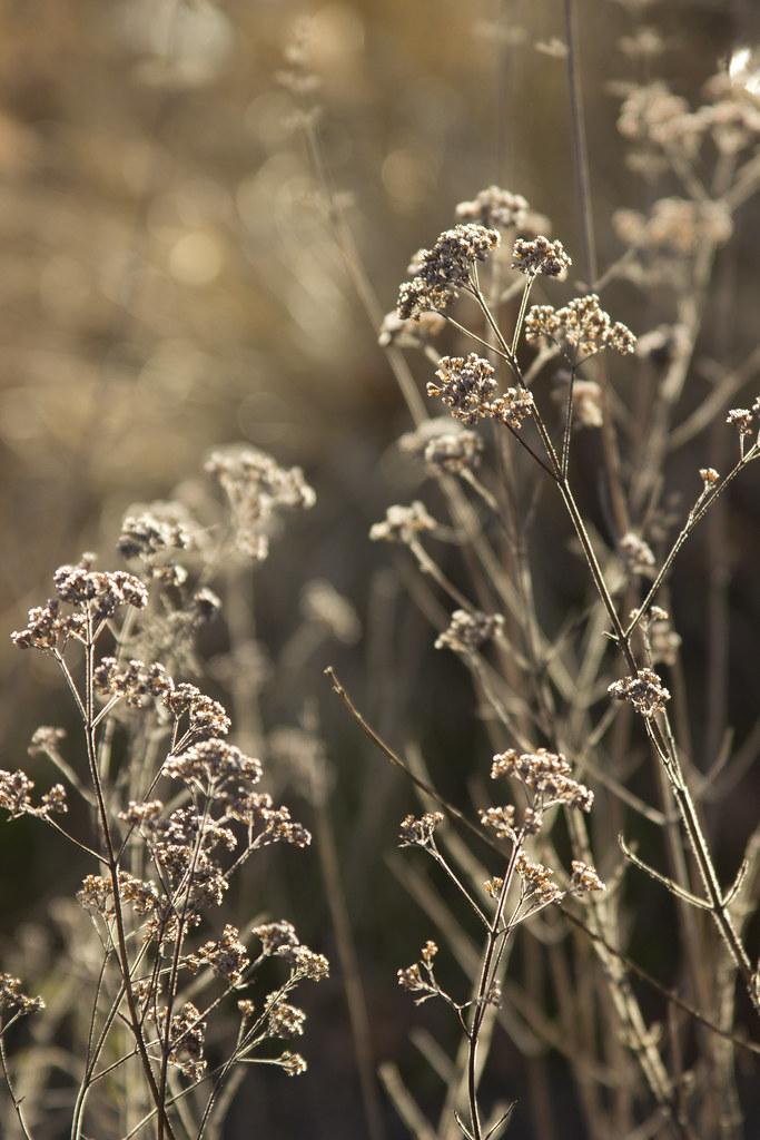 origanum seed heads 2