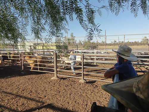 Working at the saleyards getting the cattle into the right pens for the next morning, a very full on day
