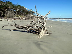 081 Washed out trees Hunting Island SP SC 6689