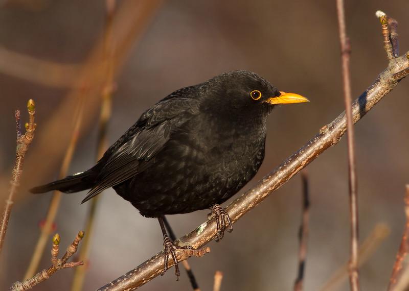 Svartþröstur - Blackbird - Turdus merula