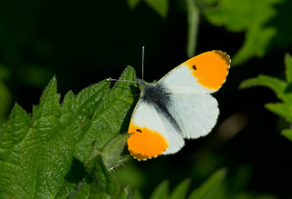 ORANGE TIP BUTTERFLY (ANTHOCHARIS CARDAMINES)
