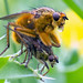 Yellow Dung Flies by Kent Capture